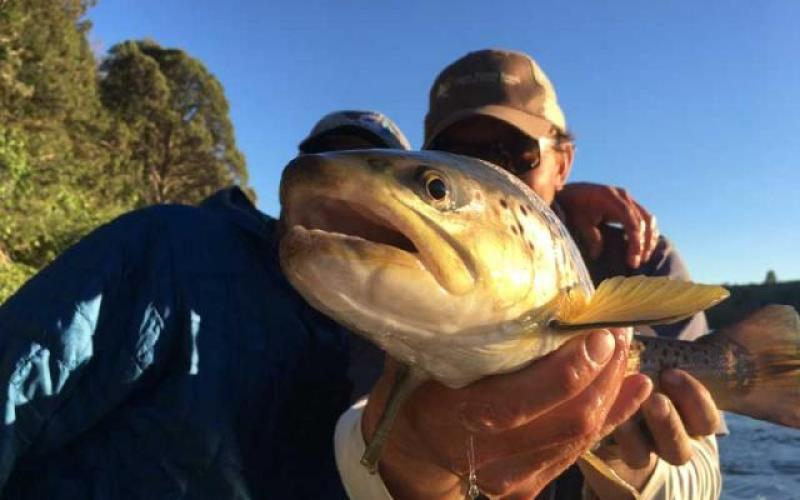 Brown trout caught on salmonfly