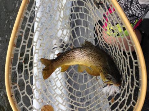 Brown caught on a Salmon Fly
