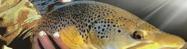 Henrys Fork Brown Trout